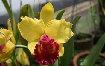história da orquídea