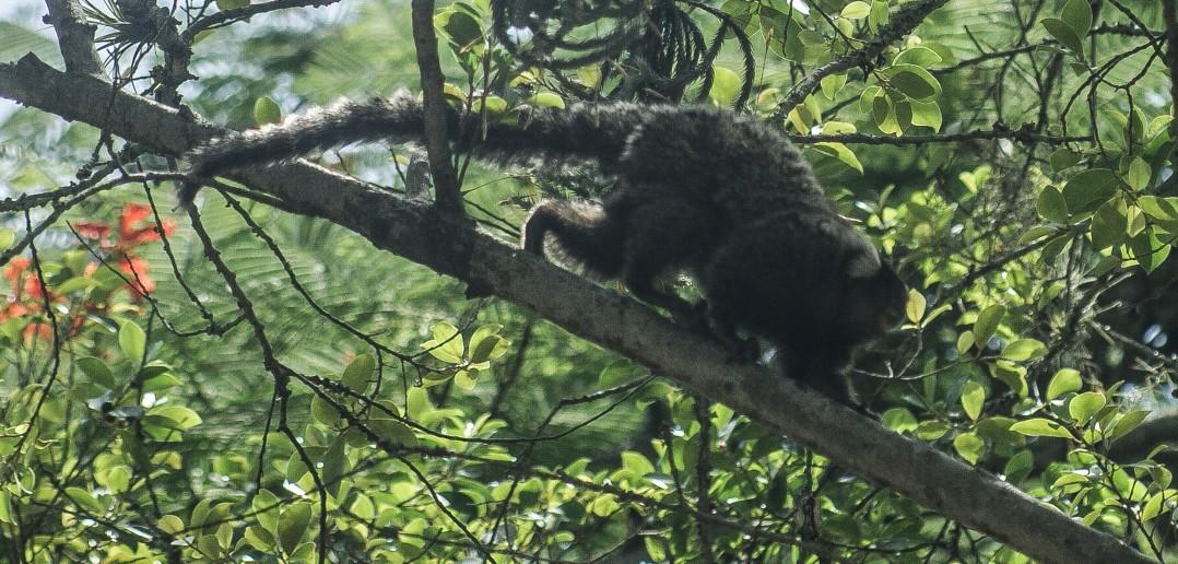 Macacos bugios são comuns no Parque do Estado e vivem livres na natureza.  Foto: Mauro Guanaium