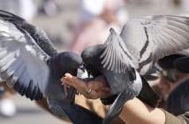 alimentar pombos